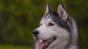 Dog Husky Pet 6144x4096 Wallpaper