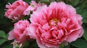 Close Up Flower Nature Peony Pink Flower 2000x1287 Wallpaper