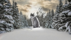 Wolf Animals Depth Of Field Blurred Snow Snow Covered Sky Photography Winter Cold Trees Maria Yaropo 4242x2828 Wallpaper