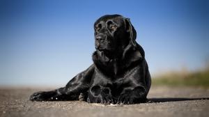 Depth Of Field Dog Labrador Retriever Pet 2560x1755 Wallpaper