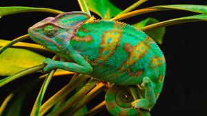 Animal Chameleon Colorful Green Lizard Plant Veiled Chameleon 1920x1200 Wallpaper