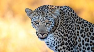 Big Cat Leopard Wildlife Predator Animal 2000x1331 wallpaper