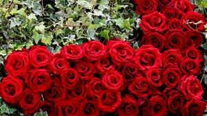 Bud Flower Red Rose Rose 2048x1367 wallpaper