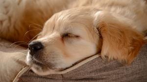 Baby Animal Dog Golden Retriever Pet Puppy Sleeping 3600x2394 Wallpaper