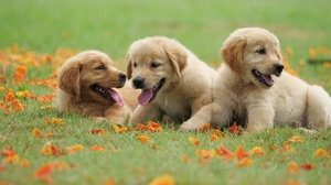 Baby Animal Dog Golden Retriever Pet Puppy 5184x3888 Wallpaper