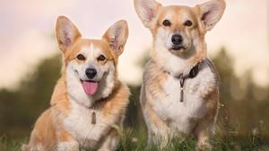 Corgi Dog Pet 3857x2602 Wallpaper