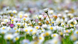 Chamomile Flower Meadow White Flower 2048x1417 Wallpaper