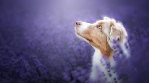 Australian Shepherd Dog Pet 2048x1363 Wallpaper