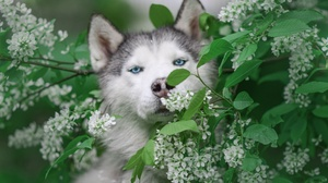 Dog Husky Pet 2803x1869 Wallpaper