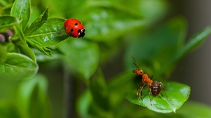 Ant Insect Ladybug Macro Nature 1920x1280 wallpaper
