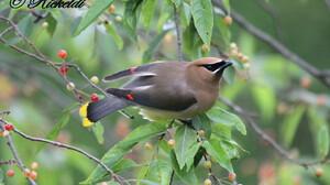 Cedar Waxwing Bird Passerine 4321x2879 Wallpaper