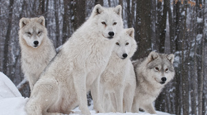 Wildlife Winter Wolf Predator Animal 3508x2408 Wallpaper