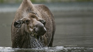 Moose Water Wildlife 3000x2096 Wallpaper