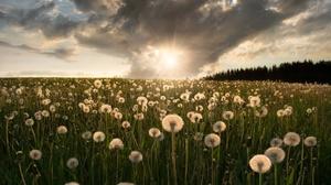 Dandelion Field Summer Sunrise 2048x1792 Wallpaper