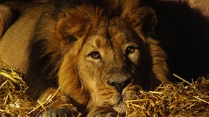 Big Cat Lion Wildlife Predator Animal 2880x1938 wallpaper