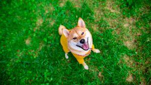Dog Animals Grass Shiba Inu 3840x2160 Wallpaper