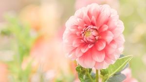 Close Up Dahlia Flower Pink Flower 2227x1392 wallpaper