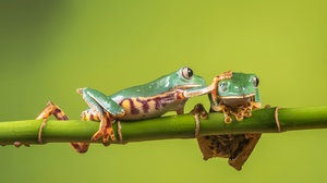 Amphibian Bamboo Frog Green Tree Frog Wildlife 4329x2658 Wallpaper