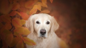 Dog Golden Retriever Muzzle Pet Stare 2048x1365 Wallpaper