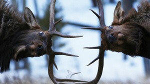 Nature Animals Elk Zach Rockvam Fighting Wildlife Depth Of Field Antlers Animal Eyes Stags 1500x1189 Wallpaper