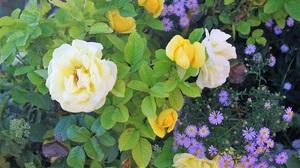 Nature Flower Yellow Rose 2000x1338 Wallpaper