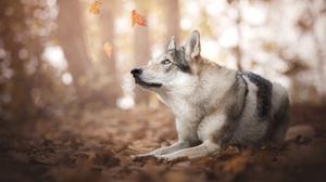 Bokeh Dog Pet Wolfdog 2048x1367 wallpaper