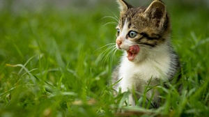 Baby Animal Cat Grass Kitten Pet 4501x3001 wallpaper