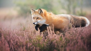 Fox Wildlife Depth Of Field Jump 2048x1365 Wallpaper