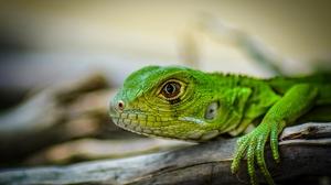 Blur Iguana Lizard 2048x1327 Wallpaper