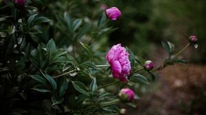Blossom Bud Peony Pink Flower 2048x1296 Wallpaper