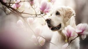 Blossom Dog Golden Retriever Pet 2048x1365 Wallpaper