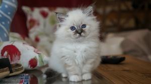 Baby Animal Cat Kitten Pet Stare 2342x1670 wallpaper