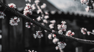 Cherry Blossom Red Black White Selective Coloring Branch 8000x4500 Wallpaper