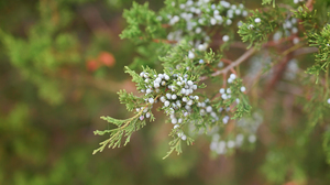 Nature Plants Trees Outdoors Pine Trees Berries Forest 6016x3746 Wallpaper