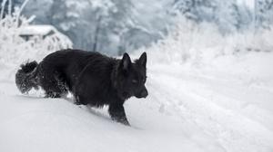 Dog German Shepherd Pet Snow Winter 2560x1707 Wallpaper