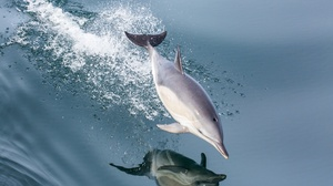 Dolphin Jump Reflection Sea Life Splash Water 3000x2000 Wallpaper