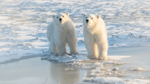 Polar Bear Wildlife 2000x1333 wallpaper