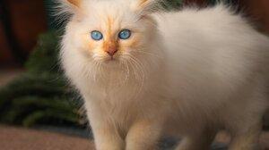 Blue Eyes Persian Cat 2048x1638 Wallpaper