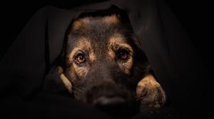 Dog German Shepherd Pet Stare 2048x1365 Wallpaper