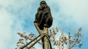 Ape Gorilla Primate Zoo 6016x4016 Wallpaper