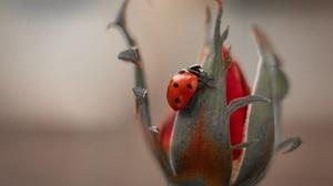 Flower Insect Ladybug Macro 2000x1333 Wallpaper