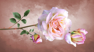 Earth Flower Pink Flower Pink Rose Rose 1920x1081 Wallpaper