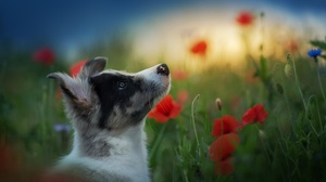 Dog Poppy Profile Puppy 2048x1300 Wallpaper