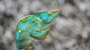 Chameleon Lizard Reptile 2048x1229 Wallpaper