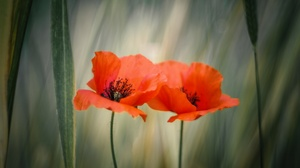 Close Up Flower Nature Orange Flower Poppy Summer 2048x1367 Wallpaper