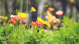Depth Of Field Flower Nature Poppy Red Flower Summer Yellow Flower 2048x1360 Wallpaper