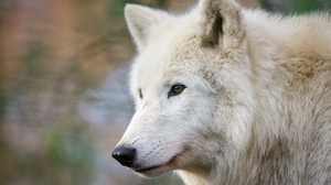 Depth Of Field White Wolf Wildlife Wolf Predator Animal 2048x1365 Wallpaper