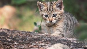 Baby Animal Kitten Pet 2000x1335 Wallpaper