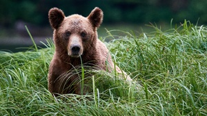 Bear Grass Grizzly Wildlife Predator Animal 4586x3365 Wallpaper