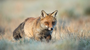 Fox Wildlife 2048x1365 wallpaper